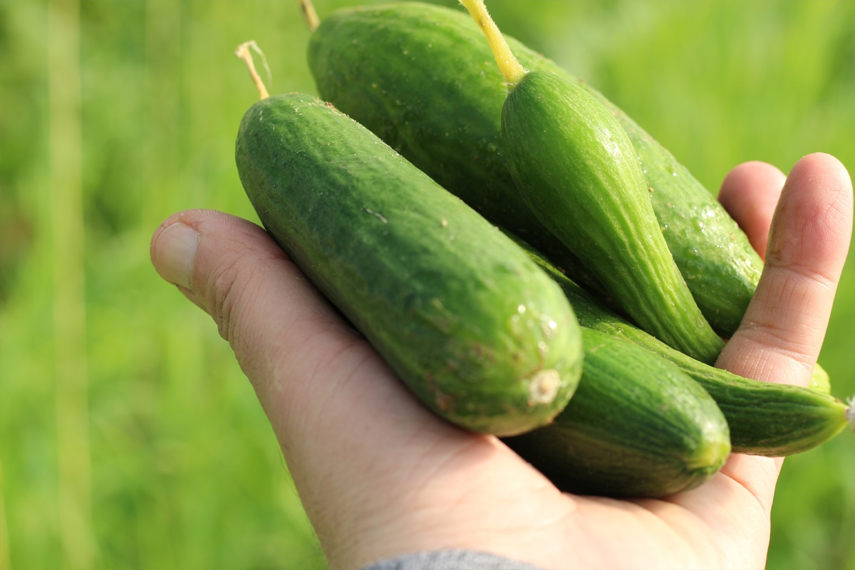 Nineveh SEED Project: Cucumber Seeds